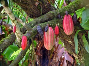 pianta-del-cacao